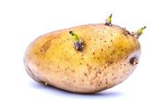 Ontkiem aardappel stock foto's