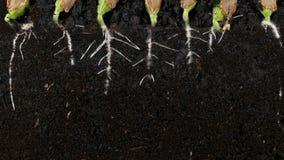 Ontkiemende de wortels ondergrondse vew van het pompoenzaad met wortels stock video