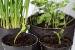 Ontkiemende installaties in potten Voorbereiding voor de lentetijd in de tuin royalty-vrije stock foto's