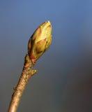 Ontluikende bladeren op de boomboeg in de lente Royalty-vrije Stock Fotografie