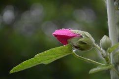Ontluikende bloem royalty-vrije stock foto