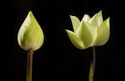 Ontluikende en bloeiende lotusbloem Stock Foto's