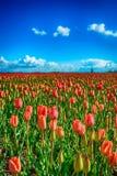 Ontluikende en bloeiende rode tulpen op een groot Nederlands gebied Stock Afbeeldingen