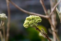 Ontluikende Hydrangea hortensia Stock Fotografie