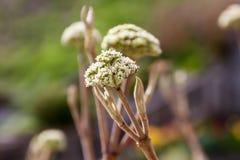 Ontluikende Hydrangea hortensia Royalty-vrije Stock Fotografie