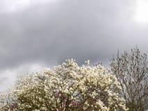 Ontluikende magnoliatreetop met grijze hemel Stock Afbeelding