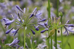 Ontluikende purpere bloemen Royalty-vrije Stock Afbeelding