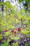 Ontluikende purpere bloemen en verse groene bladeren van een Chinese azale royalty-vrije stock foto