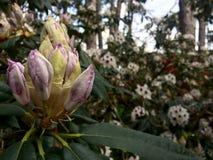 Ontluikende rododendron dicht omhoog stock fotografie