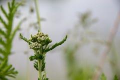 Ontluikende wilde bloemen die op een gebied groeien royalty-vrije stock fotografie