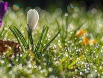 Ontluikende witte krokus stock fotografie