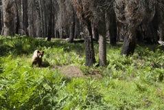Ontmoet wild maar vriendschappelijk dragen in het bos van Yosemite, Californië royalty-vrije stock afbeeldingen