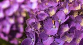Ontploffingen van Purple stock foto