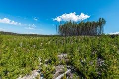 Ontruimd bos met de nieuwe groei royalty-vrije stock afbeeldingen