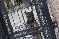 Ontschorsende hond Vector Illustratie