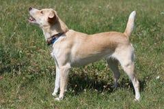 Ontschorsende hond op het gras Stock Foto