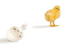 Ontsnapte aan kuiken en eierschaal met scores stock foto's