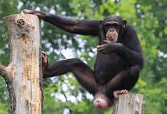 Ontspannen gorilla Royalty-vrije Stock Afbeeldingen