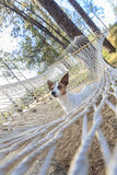 Ontspannen hefboom Russell Terrier Relaxing in een Hangmat stock foto's