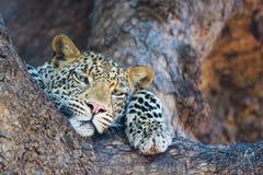 Ontspannen luipaard Royalty-vrije Stock Afbeelding