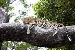 Ontspannen luipaard het liggen op een tak stock foto