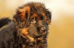 Ontspannen puppy Royalty-vrije Stock Afbeeldingen