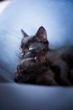 Ontspannen zwarte katjes Stock Afbeeldingen