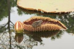 Ontspannend ogenblik voor deze kikker op een waterlelie Stock Afbeelding