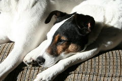 Ontspanning in Sun Jack Russell Terrier Royalty-vrije Stock Foto's