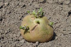 Ontsproten aardappels Royalty-vrije Stock Afbeeldingen