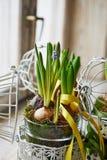 Ontsproten bloembollen in kooi met het lint Royalty-vrije Stock Foto