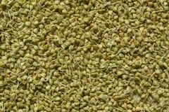 Ontsproten groene boekweitkorrels De gezonde achtergrond van het voedselconcept stock afbeeldingen