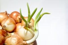 Ontsproten uien, groene uienveren Stock Fotografie