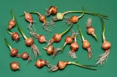Ontsproten uien voor het planten van gewassen op een groene achtergrond Royalty-vrije Stock Foto