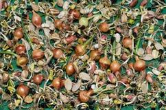 Ontsproten zaden van diverse gewassen op de groene oppervlakte Royalty-vrije Stock Fotografie