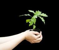 Ontspruit een jonge eiken boom in vrouwelijke handen. Stock Foto's