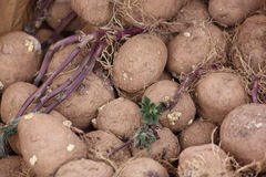 Ontspruitende aardappels Royalty-vrije Stock Fotografie
