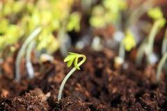 Ontspruitende zaden van tuinkers royalty-vrije stock afbeelding