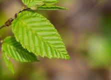 Ontwerper Leaf Royalty-vrije Stock Foto