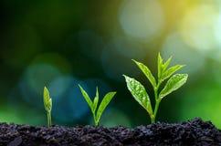 Ontwikkeling van de zaailingsgroei die zaailingenjonge plant in het ochtendlicht planten op aardachtergrond stock afbeeldingen