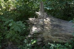 Ontwortelde boom met klimop stock foto's