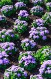Ontzagwekkend leilaniblauw van de zijdebloem of ageratum blauwe bouque Royalty-vrije Stock Foto's