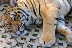 Ontzagwekkend Lion Sanctuary royalty-vrije stock afbeelding