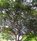 Ontzagwekkende Hawaiiaanse boom royalty-vrije stock foto's