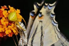 Onustus de Thomisus da aranha com seu podalirius escasso de Swallowtail Iphiclides da rapina da borboleta fotografia de stock royalty free