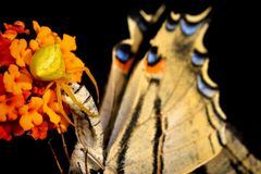 Onustus de Thomisus da aranha com seu podalirius escasso de Swallowtail Iphiclides da rapina da borboleta fotografia de stock