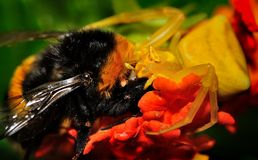 Onustus Thomisus αραχνών με στιλβωμένος-παρακολουθημένα τα θήραμα Bumblebee του terrestris Bombus στοκ φωτογραφία με δικαίωμα ελεύθερης χρήσης