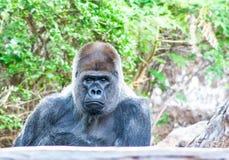 Onverbiddelijk zit de Gorilla hier en wachtend op u stock afbeelding
