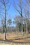 Onvruchtbaar Forest Trees Royalty-vrije Stock Afbeeldingen