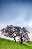 Onvruchtbare droge boom op groen hellingsweiland Nuttig als achtergrond Stock Afbeeldingen